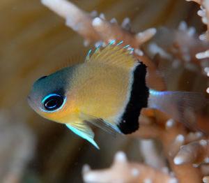 poissons-demoiselles