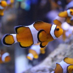poissons-clowns