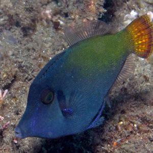 poissons-limes