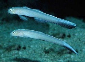 poissons-flechettes