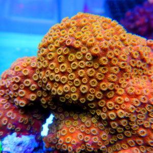 MH Tangerine Cyphastrea